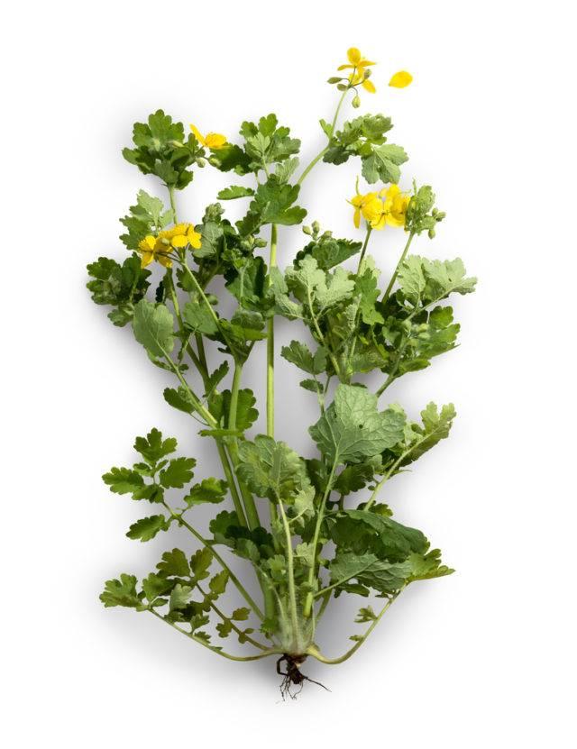 glistnik jaskółcze ziele budowa rośliny