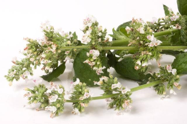kwiaty melisy lekarskiej