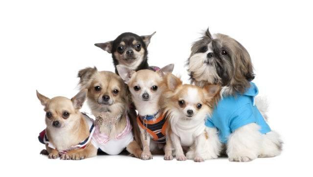 małe rasy psów