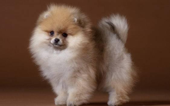 O Pomeranianach Szpic miniaturowy POME...