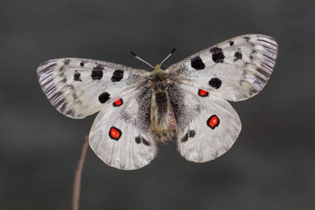 Motyl apollo (niepylak apollo)