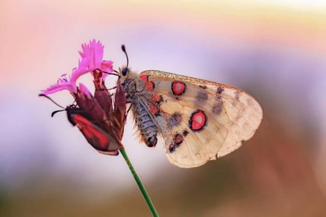 największy motyl w Polsce