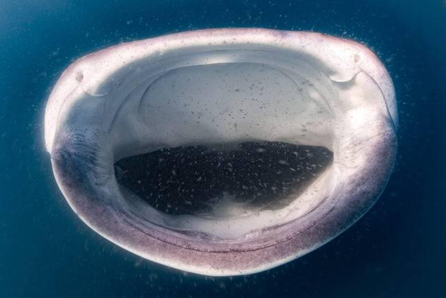 rekin wielorybi filtrujący wodę w poszukiwaniu planktonu