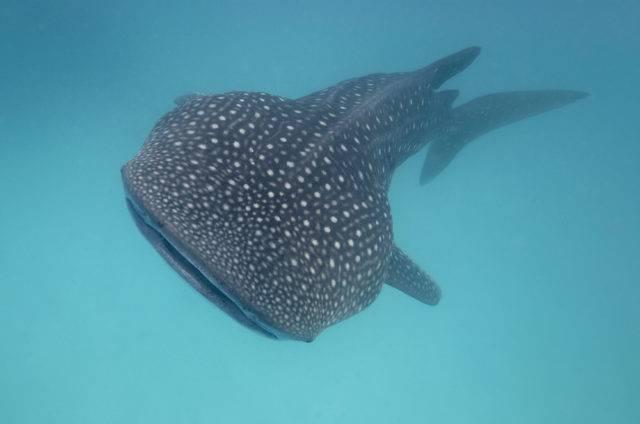 rekin wielorybi największa ryba na świecie