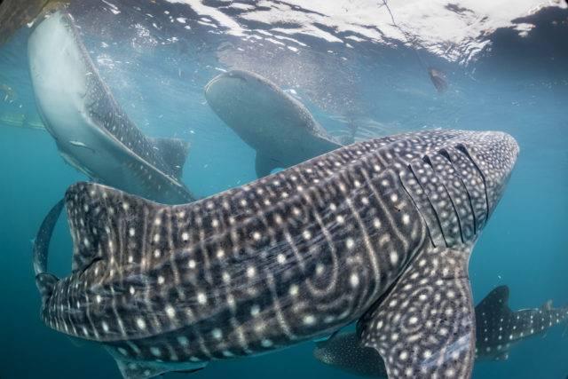 rekiny wielorybie