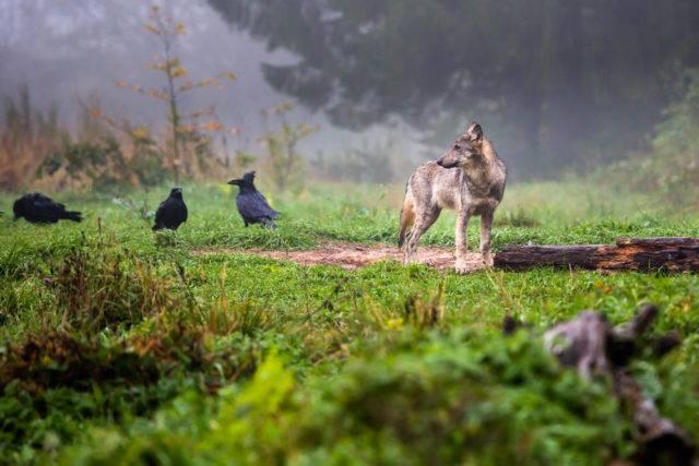 wilk w bieszczadach
