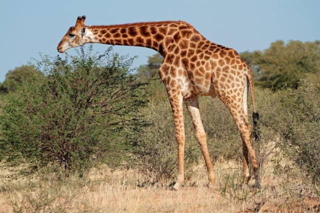 co je żyrafa liście akacji