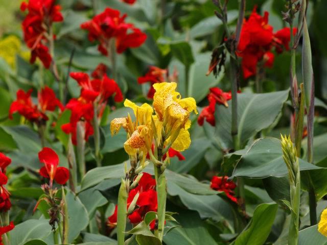 cebulki kwiatowe sadzone wiosną kanna