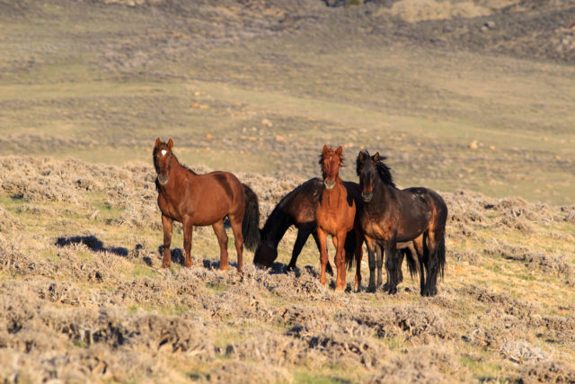 MUSTANG dziki koń
