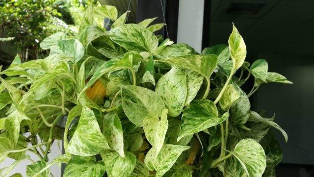 rośliny doniczkowe niebezpieczne dla kota Epipremnum