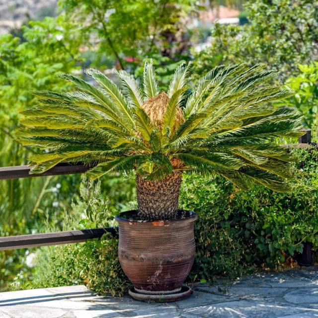 rośliny doniczkowe niebezpieczne dla kota cykas palma