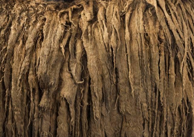 dredy osła Poitou