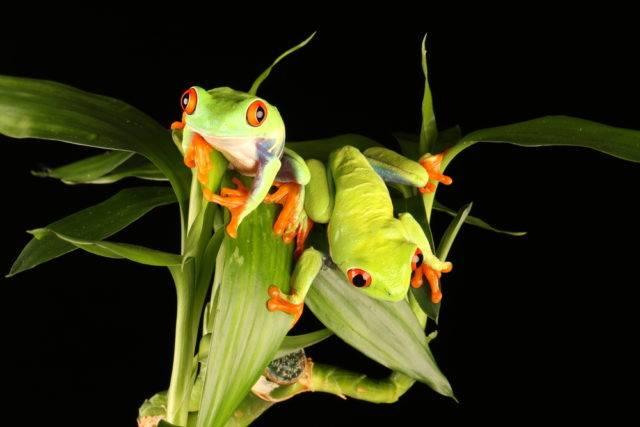 dwie żaby chwytnica kolorowa