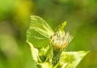 Listkowiec cytrynek (Gonepteryx rhamni)