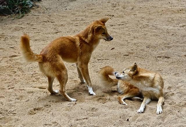 dingo australijskie
