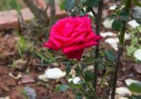Dlaczego róża nie kwitnie?