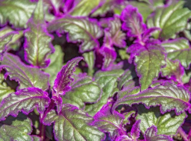kwiat doniczkowy Gynura aurantiaca