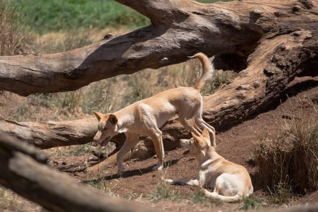 dwa dingo australijskie