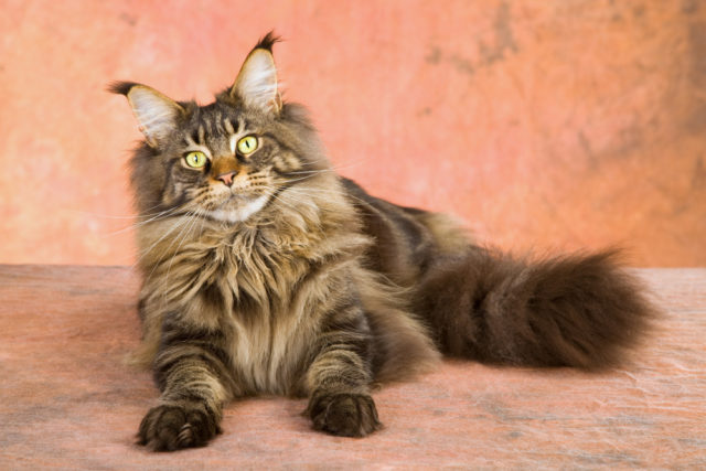 dorosły kot maine coon