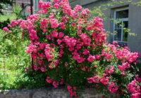 Odmiany róż pnących