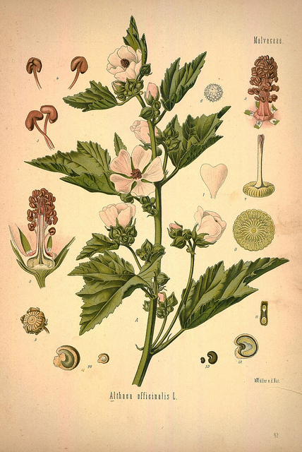 prawoślaz lekarski (Althaea officinalis)