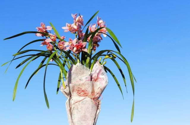 storczyk cymbidium różowe