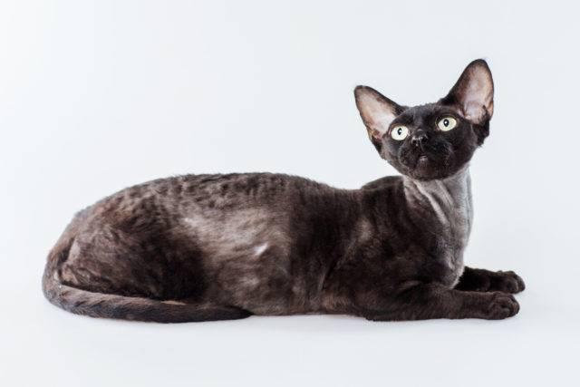 czarny kot cornish rex