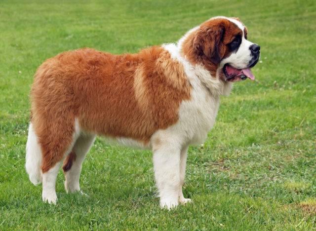 duże rasy psów bernardyny