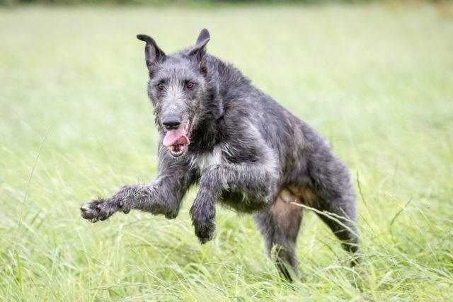 duże rasy psów chart szkocki