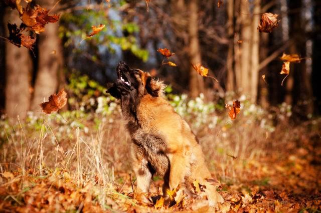 duże rasy psów leonbergery