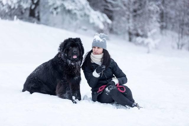 duże rasy psów nowofundland