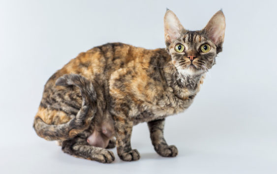 Kot Cornish Rex