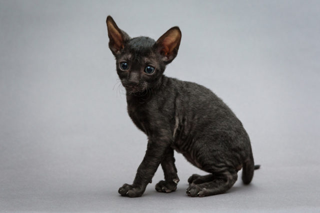 kotek cornish rex