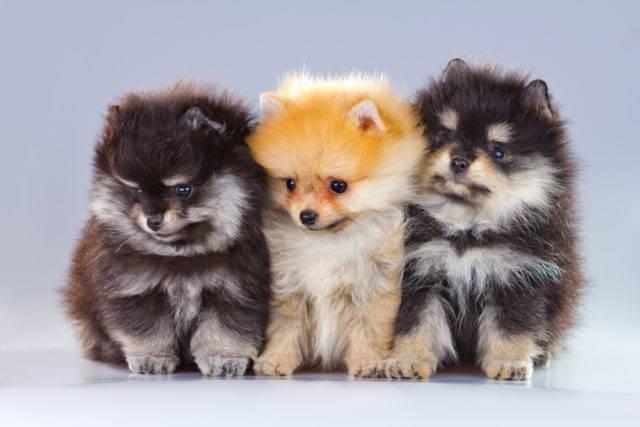 małe rasy psów pomeranian
