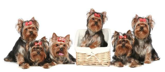 małe rasy psów yorkshire terriery