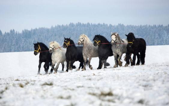 Rasy koni zimnokrwistych hodowanych w Polsce