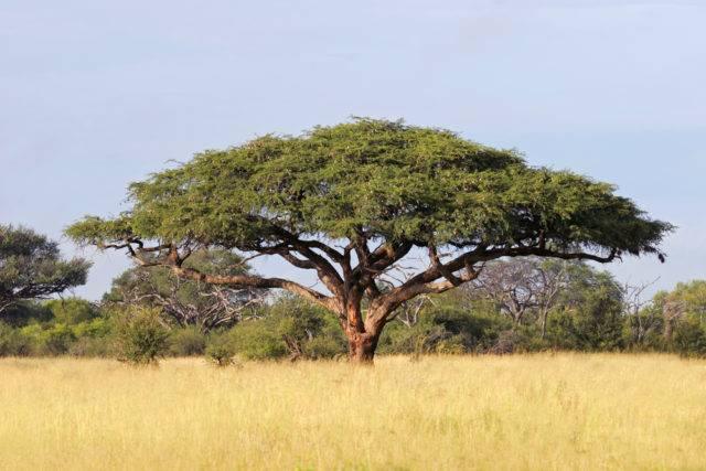 drzewo życia