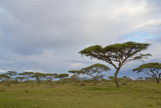 akacje na sawannie afrykańskiej