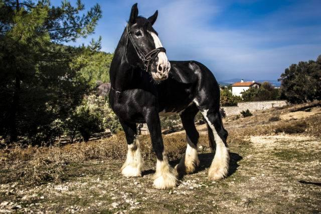 największa rasa koni na świecie