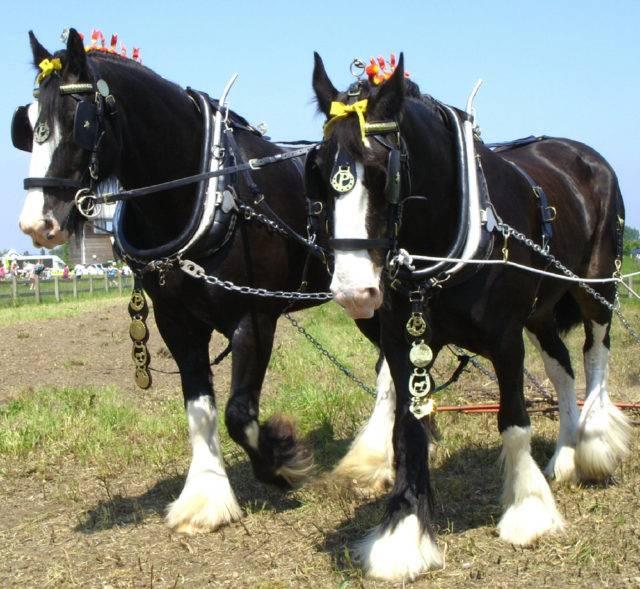 największy koń