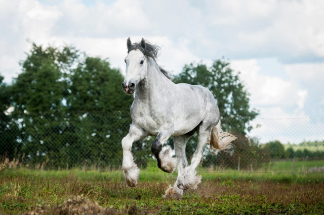 największe konie na świecie
