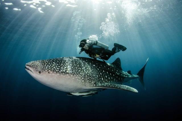 rekin wielorybi porównanie do człowieka