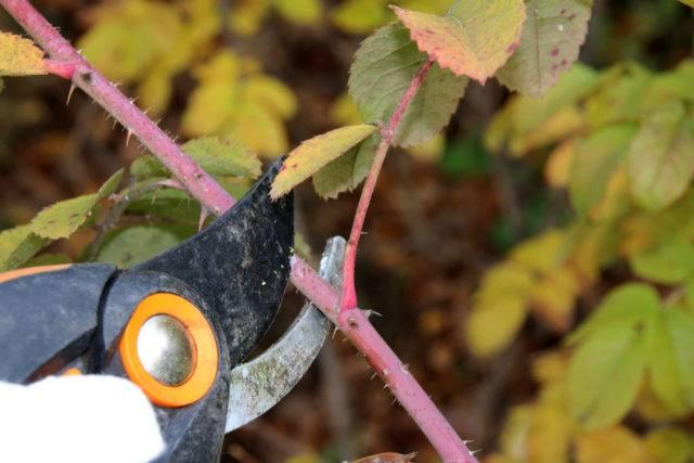 cięcie róż na zimę w ogrodzie