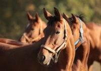 Rasy koni hodowanych w Polsce