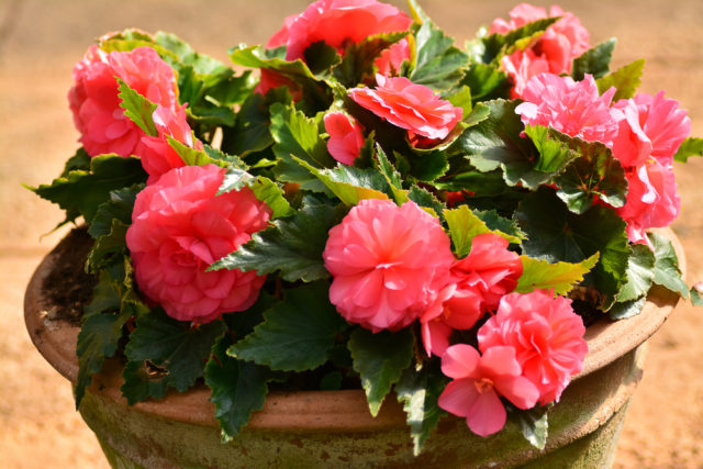 cebulki kwiatowe sadzone wiosną begonie