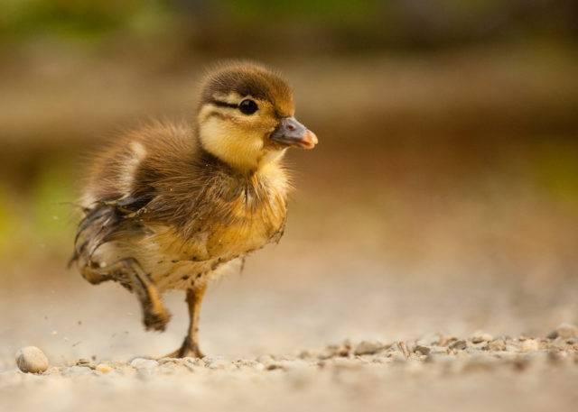 młoda mandarynka kaczka