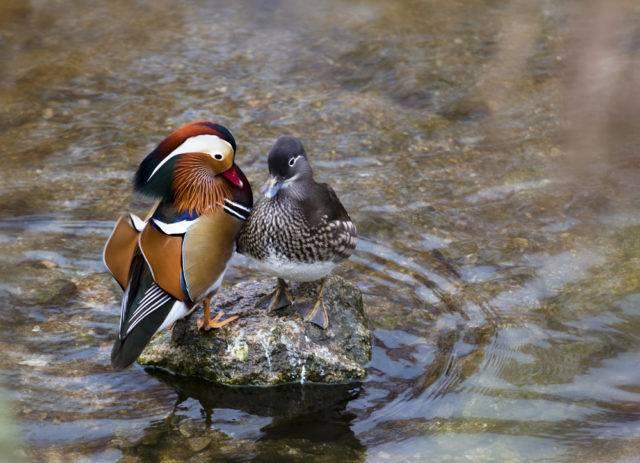 para kaczek mandarynek (samiec, samica)