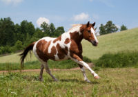 American Paint Horse