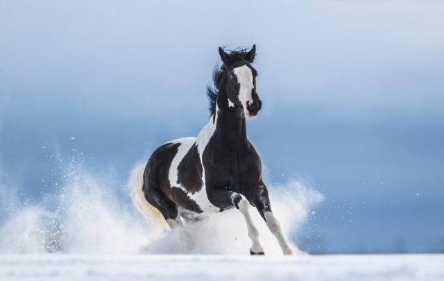 koń American Paint Horse