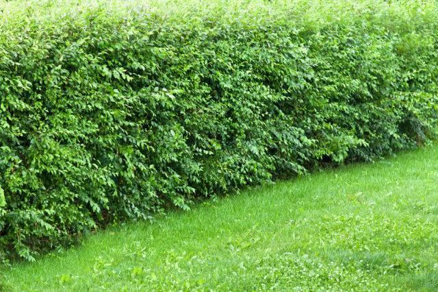 Rośliny na żywopłoty nieformowane